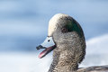 American wigeon drake anas americana calling with an icy bill on a cold winter day Royalty Free Stock Photography