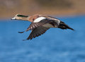 American wigeon a male anas americana in flight Royalty Free Stock Image