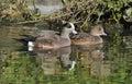 American wigeon pair anas americana of ducks Stock Photography