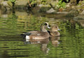 American wigeon pair anas americana of ducks Royalty Free Stock Image
