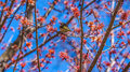 American yellow warbler Royalty Free Stock Photo