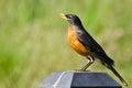 Americano robin singing while perched en una luz Imágenes de archivo libres de regalías