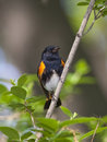 Amerikanisches Redstart Stockfoto