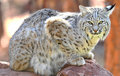 Amerykańskiego ryś rudy Idaho amerykański północy park Yellowstone Fotografia Royalty Free
