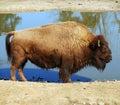 Amerykańskiego żubra bizon Obrazy Royalty Free