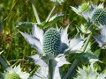 Amethyst Sea Holly or Eryngo flower buds close-up, selective focus, shallow DOF Royalty Free Stock Photo