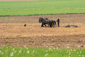 Amish farmer with horses Royalty Free Stock Photo