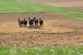 Amish farmer with horses