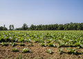 Amish grown tobacco fields these are that are by the in tennessee usa Royalty Free Stock Image
