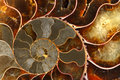Stock Image Ammolite