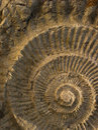 Ammonite Stock Photos