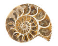 Ammonite Royalty Free Stock Photo