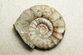 Ammonite Stock Photography