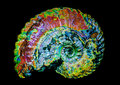 Ammonite fossil cretaceous fossilised displaying strong iridescence approx million years old Stock Images