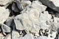Ammonite fossil Royalty Free Stock Photo