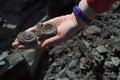 Ammonite - fossil mollusk. Royalty Free Stock Photo