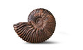 Ammonite - fossil mollusk. Royalty Free Stock Photo