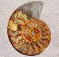 Ammonite Fossil Shell