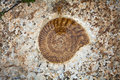 Ammonite fossil. Royalty Free Stock Photo