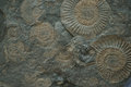 ammonites fossil texture Royalty Free Stock Photo