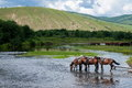 Amount ergunaen horses and the town of river inner mongolia hulunbeier Royalty Free Stock Photo