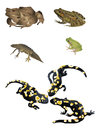 Amphibians it is illustration of several Stock Photos