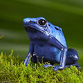 Amphibie exotique d'animal familier de poison de grenouille bleue de dard Photo stock