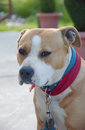Amstaff picture of an dog Royalty Free Stock Image