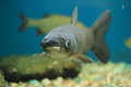 Amur carp Stock Photography