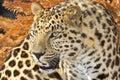 Amur leopard Stock Images