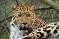 Amur leopard Royalty Free Stock Photo