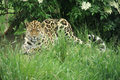 Amur Leopard 6 Royalty Free Stock Images
