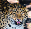 Amur leopard or also known as the manchurian Royalty Free Stock Photos