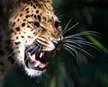 Amur leopard close up photo of an growling Royalty Free Stock Photography