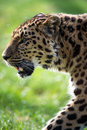 Amur leopard close up portrait Royalty Free Stock Image