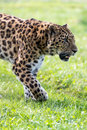 Amur leopard close up portrait Stock Photo