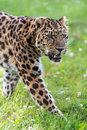 Amur leopard close up portrait Royalty Free Stock Photo