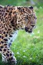 Amur leopard close up portrait Royalty Free Stock Images