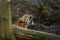 Amur leopard cub roar behing tree lying on the ground Stock Images