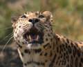 Amur leopard growling and roaring Royalty Free Stock Photos