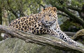 Amur leopard latin name panthera pardus orientalis Stock Photography