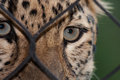 Amur leopard looking through a fence ata zoo Stock Photo