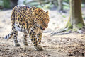 Amur leopard panthera pardus orientalis Royalty Free Stock Photos