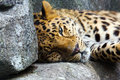 Amur Leopard resting on rock Stock Photos