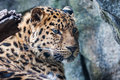 Amur leopard resting on rock falling asleep a Stock Image
