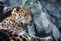 Amur leopard resting on rock falling asleep a Royalty Free Stock Photography