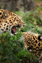 Amur Leopard Snarl Royalty Free Stock Images