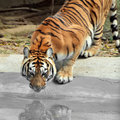 Amur Siberia tiger Stock Images