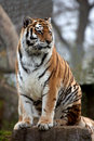 Amur Tiger Stock Image