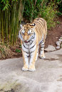 Amur tiger close up of panthera tigris altaica Stock Photography